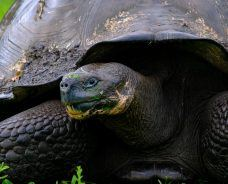 It's Peak Season for the Gopher Tortoise in Florida: Here's What You Should Know